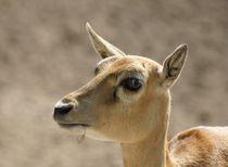Hirschziegenantilopen Profil von kattobello