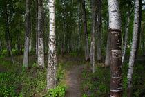 Birkenwald von eyefulcityandnature
