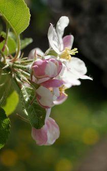 Aus Apfelblüten einen Kranz... von inti