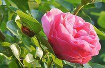 Rosenblätter? Magst Du die? by inti