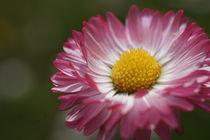 Ein Gänseblümchen by inti