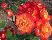 Pfirsichfarbene Rosen von inti