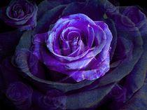 Veilchenrose by inti