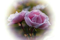 Zarte Rosen von inti