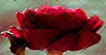 Rose im Spiegel der Kacheln von inti