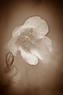 Zarte Blüte in Sepia by inti
