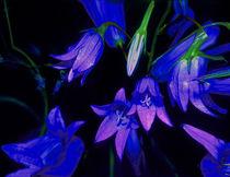 Glockenblume leuchtend blau by Rainar Nitzsche