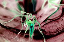 Cheiracanthium - der Dornfinger von Rainar Nitzsche