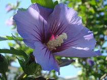 Eibisch Blüte von Georg Portet