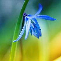 Blue.Spring von fraudoktor