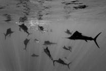 Faecherfische jagen Sardinen, Atlantischer Ozean von Reinhard Dirscherl