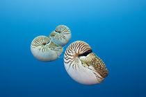 Nautilus by Reinhard Dirscherl