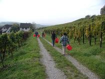 Auf zur Weinlese! von Billo Heinzpeter Studer