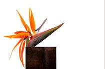 Paradiesvogelblume by pichris