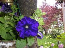 blauer Enzian von Henriette Abt