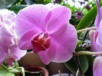 Orchidee, pink von Henriette Abt
