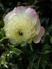 Rose von Henriette Abt