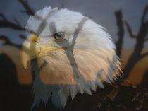 Weißkopfseeadler von Cornelia Greinke