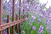 Lavendel von Petra Dammann