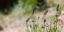 Lavendel II von Petra Dammann
