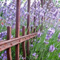 Lavendel III by Petra Dammann