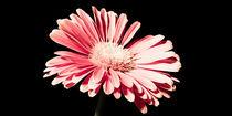 Blossom No. 2 by Petra Dammann
