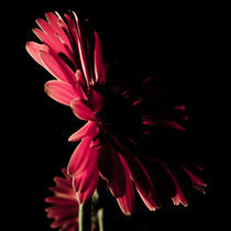 Blossom No. 3 by Petra Dammann