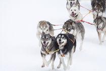 Hundeschlitten von Michael Mayr