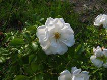 Weiße Rose by Detlef Georgi