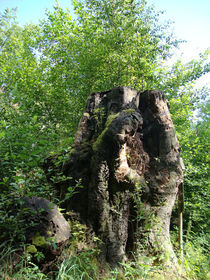 Rotbuche - Ein Denkmal by baumfreund