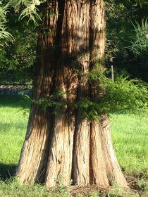 Mammutbaum by baumfreund