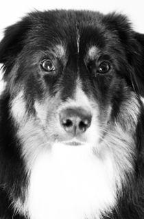 Aussie Junghund Black Tri von Gerhard Prager