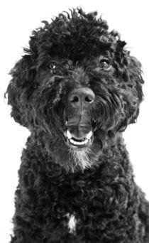 Pudel Junghund von Gerhard Prager
