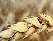 Weizen mit Käfer von Bernhard Kosten