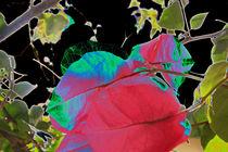 Bougainvillea delikat von Susanne Brutscher