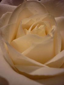Rose by Isabel Vogel