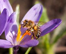Biene auf Krokusblüte von Zoltan Kiraly