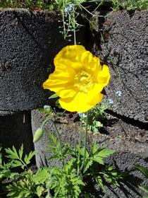 Gelber Mohn von Wiebke Blume