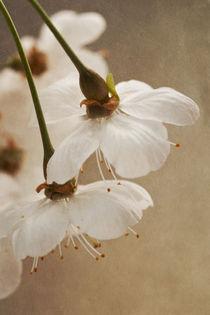 Wilde Kirschblüten von Priska Wettstein