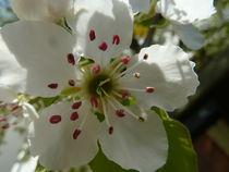 Birnenblüte - Pyrus communis von Beatrice Mock
