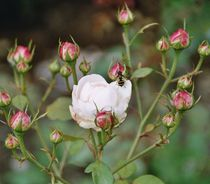 Rosentierchen von Christiane Köppl