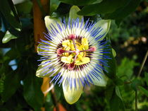passionsblume von claudia kornwebel