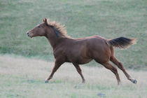 quarterhorse im galopp by renee claire schneider
