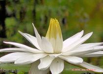 Lotusblüte von Udo Schiffgen