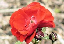Rose von Udo Schiffgen