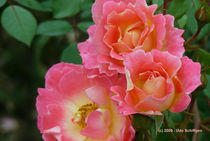 Drei Rosen  by Udo Schiffgen