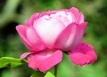 Rose (3) von Udo Schiffgen