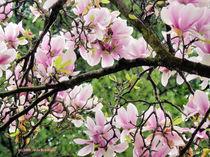 Kirschblütenzweig von Udo Schiffgen