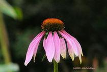 Sonnenhüte (Echinacea) von Udo Schiffgen