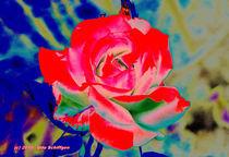 Rote Rose von Udo Schiffgen
